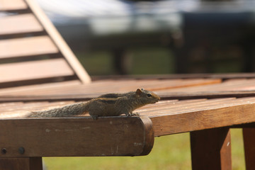 Chipmunk is stolen on a chaise lounge. In search of food.
