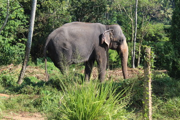 Elephant on a chain in the Pinnawela orphanage. Sri Lanka.