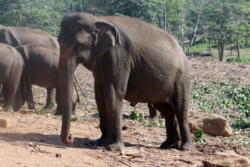 Elephants orphanage in Pinnawela, Sri Lanka.