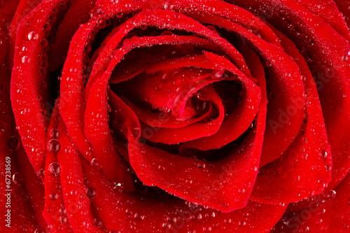 canvas print picture Rote Rose mit Wassertropfen