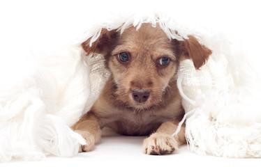 Puppy under a blanket