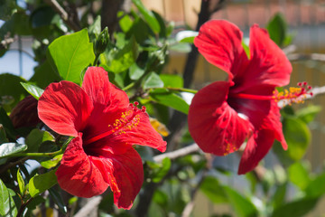 Hibiscus red flowers