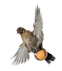 flying blackbird with egg