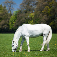 Arabian white horse in a green field