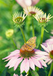 Butterfly sitting on pink echinacea  flower in the rays of the s