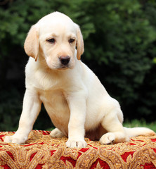 yellow labrador puppy portrait on the table