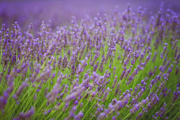 Lavender flower in a field