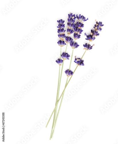 In de dag Lavendel Lavendel