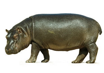 Baby Hippo Isolated on White Background