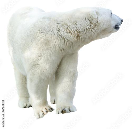 Staande foto Ijsbeer Arctic polar bear, Ursus maritimus