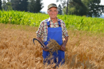 Organic farmer working in a wheat field and looking at the crop