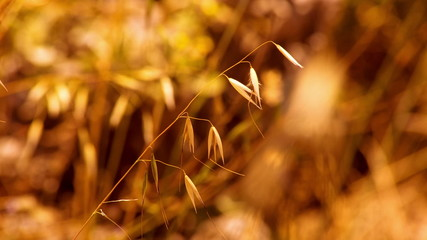 Dry Blade of Grass. Drought. Panning. HD 1080.