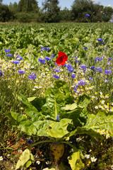 Steckrübenfeld mt Korn und Mohnblumen