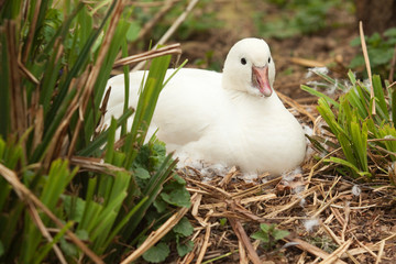 little white duck on nest 8437