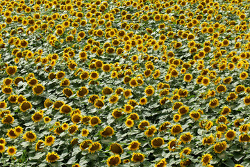 Agriculture, sunflower plant in summer