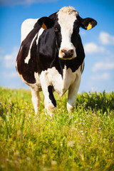 Cow at countryside in spring