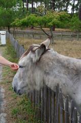 Niedlicher Esel in Frankreich 2