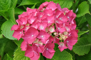 Pink hydrangea in the garden