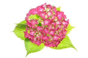 Pink hydrangea flower with green leaves isolated on a white