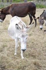 Niedliche Esel in Frankreich