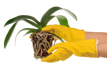 Orchid plant in hand