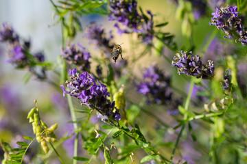 Biene im Anflug auf Blumen