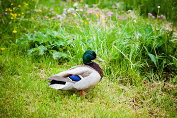wild duck in natural green environment