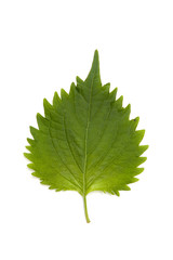 A green of leaf isolation on white background.