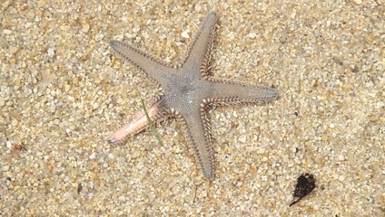 Live Starfish in sand beaches of Greece
