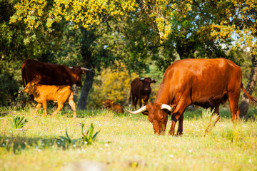 Group of brown cows eating at countryside
