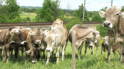 cows stands in background of fence