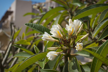 beautiful plumeria flower on the hotel