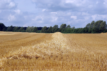 Cornfield after harvest stubble