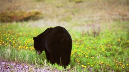 Black Bear in grassy field