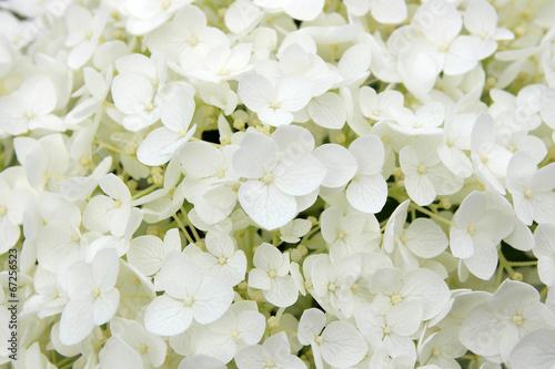 In de dag Hydrangea White hortensia