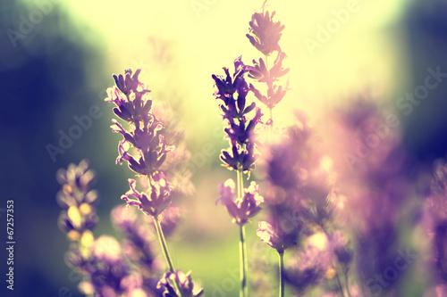 Lavender vintage sunset - 67257353