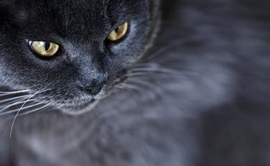 Katze Karthäuser