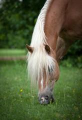 un cavallo dalla criniera bionda bruca