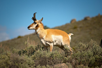 Pronghorn Antelope surveys countryside