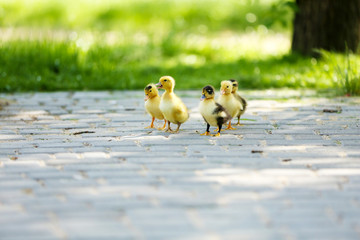 Little cute ducklings, outdoors