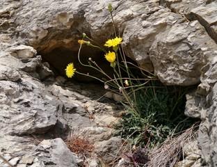 Löwenzahn in der Felsspalte