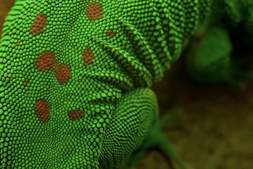 Gecko Haut