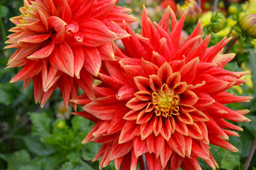 Orange dahlias and raindrops