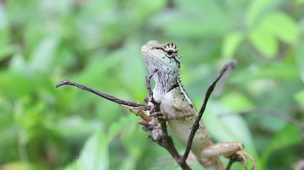 asia chameleon resting on tiny branch green background