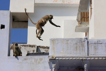 Gray langurs playing in the streets of Pushkar, India