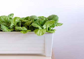 Hydroponic vegetables growing in pot