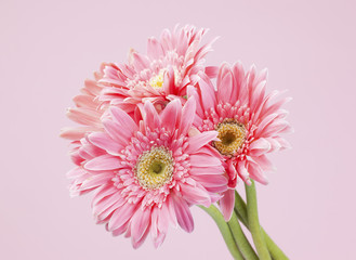 pink gerbera on pink background