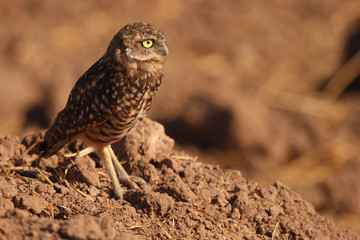 Burrowing Owl At Den