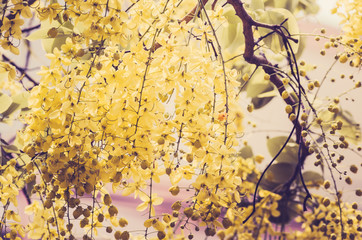 Golden shower or Cassia fistula flower vintage