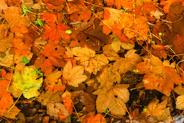 Orange autumn leaves as natural fall background